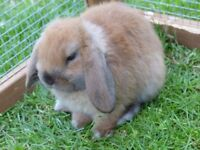 2 Mini Lop Bunnies, male & female, both neutered & up to date with checks & jabs (almost 3 yrs old)
