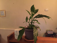 House plant - Peace Lily - Spathiphyllum
