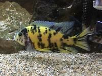 African Malawi Peacock OB Cichlids