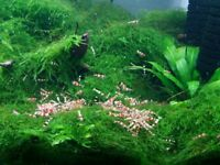 Crystal red shrimps for sale ( no RO water).