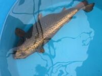 Koi thining out pond new price
