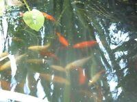 Pond bred Goldfish for sale.
