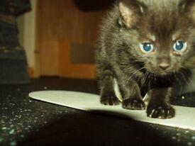 5 Siberians black kittens
