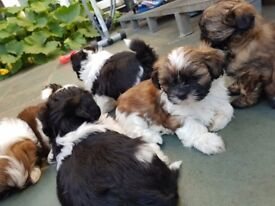 Shi Tzu Puppies For Sale