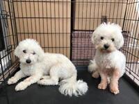 2 Bichon Frises looking for a forever home