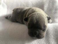 Blue French Bulldog Puppies KC Registered
