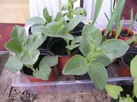 Broad bean plants, and garlic plants all in single pots from 30p each