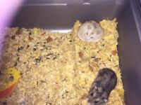 2 dwarf hamsters and cage