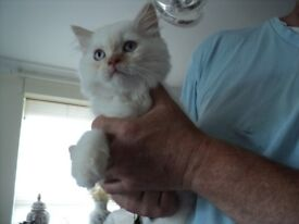 british shorthair x kittens male vaccinated and microchipped definitely not deaf