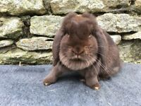 Beautiful chocolate mini lop doe for sale
