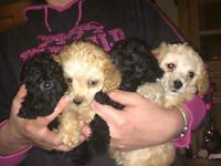 Toy Poodle Dog Pups