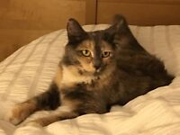 Lost female cat grey peach and tabby semi long haired
