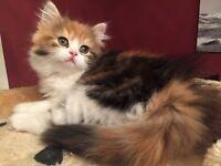 Beautiful Persian Maincoon cross kittens