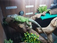 18 month old iguana with full set up