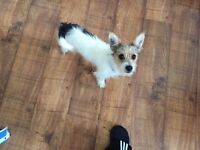 Jack Russel 6 month old puppy for Sale