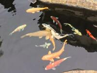 KOI FISH 14 healthy colourful fish