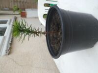 Rare Healthy Monkey Puzzle Tree /Plant in Large Black Pot