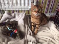 Bengal kittens £200