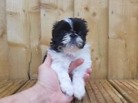 Ready Now - Simply adorable Imperial Shih-Tzu puppies
