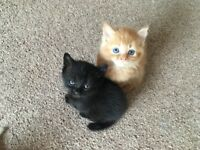 5 beautiful loving kittens looking for a home