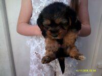 beutiful yorkies x shih tzu puppies 8 weeks old boy and a girl