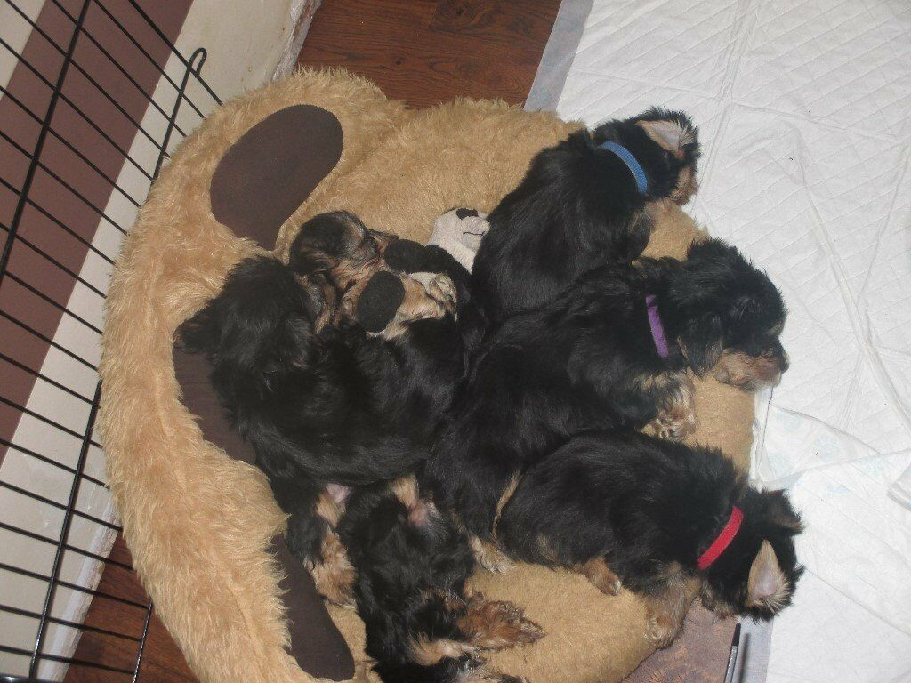 Beautiful Yorshire Terrier puppies for sale !! 3 boys £400 1 girl £425 available 20th november
