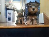 Little Baby Mini Yorkie Puppies