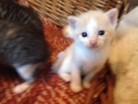 Beautiful 1/4 Maine Coon kittens for sale