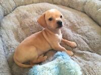 Tiny Dachshund cross chihuahua pups