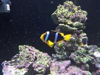 Charkii clown marine fish