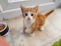 Ginger male kitten looking for new home