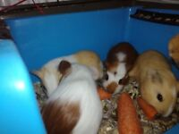 Baby guinea pig , pigs ready to go
