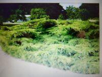 Wanted mature Juniper plant/tree/shub