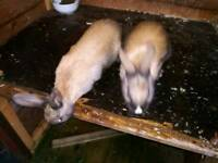 Mini Rex female for sale