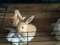 rabbits for sale + hutch