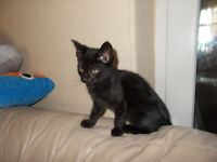 1 Gorgeous little boy Kitten For Sale Ready Now