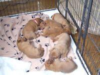 DOGUE DE BORDEAUX PUPPIES WITH CHAMPION BLOODLINES