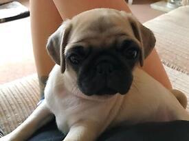 9 week old pug puppies