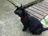 MISSING Black Cat /Harrow