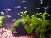 Fish , Cherry shrimps
