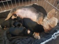 Yorkshire Terrier Puppies 2 boys 2 girls
