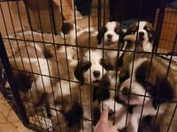 Stunning pure bred St Bernard puppies