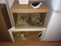 Corn Snake and vivarium