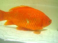 2x Pond gold fish (adult)