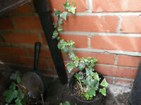 Plants for sale-Two English ivy plants in a 15 cm pot
