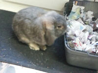 Missing - grey lop-eared rabbit Bourne Valley / Ashley Heath Area Parkstone Poole