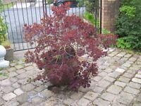 SMOKE BUSH TREE/SHRUB