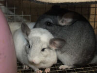 Pair male chinchilla kits white mosaic and standard grey
