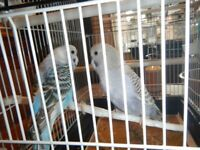 BABY BOY AND GIRL HAND TAMED BUDGIES AND NEW CAGE
