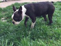 KC Reg Boston Terrier Female